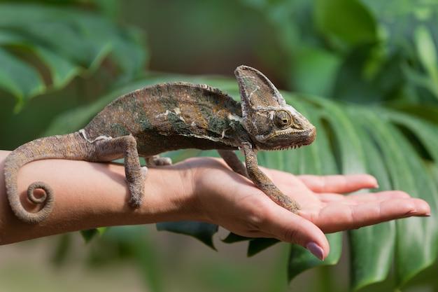 Su una mano femminile siede un piccolo camaleonte, su uno sfondo di verde, un animale esotico