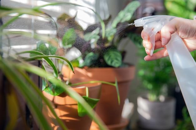 Mano femminile che spruzza acqua sulla pianta della casa dell'interno sul davanzale della finestra con la bottiglia dello spruzzo d'acqua, prenditi cura delle piante della casa verde decorazione d'interni moderna casa accogliente