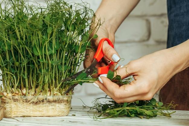 Mani femminili che tagliano micro verde con le forbici si chiudono