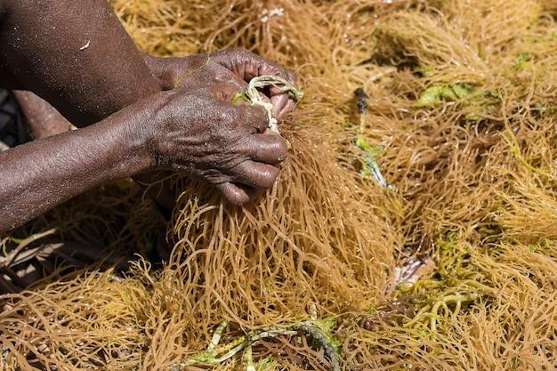 Le mani femminili risolvono le alghe per un'ulteriore elaborazione sull'isola di zanzibar, tanzania, africa orientale, primo piano
