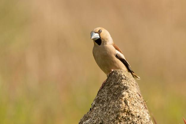 Hawfinch femmina con piumaggio della stagione degli amori alla prima luce del giorno