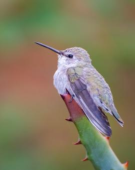 Colibrì femmina arroccato sulla punta di una pianta di agave