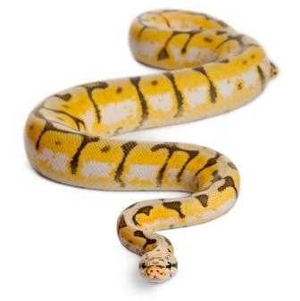 Pitone reale killerbee femminile, pitone palla - python regius killerbee è il colore
