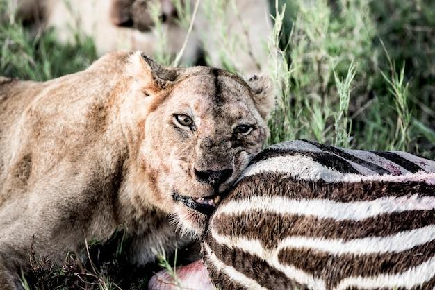 Leone femmina che mangia zebra nel parco nazionale del serengeti