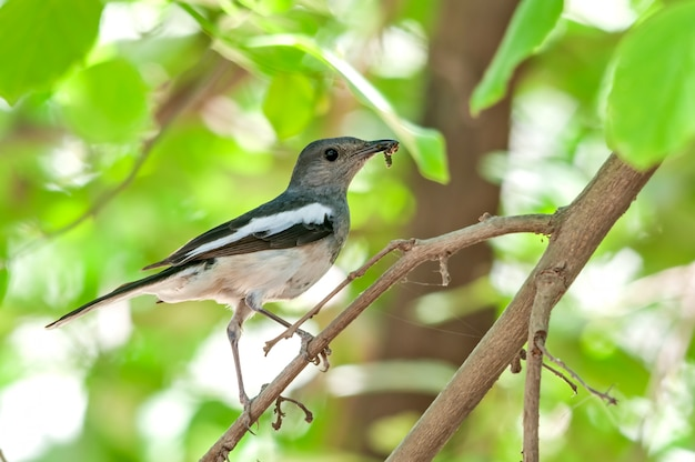 Un pettirosso gazza femmina con il cibo nel becco su un albero