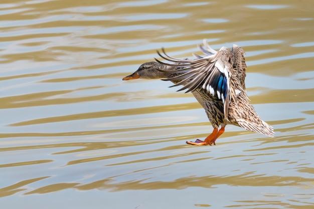Germano reale femmina di atterraggio sull'acqua