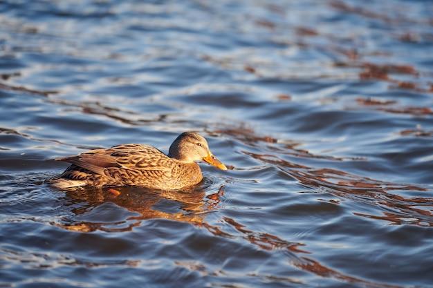Femmina di uccelli acquatici del germano reale che si diletta nello stagno o nel fiume.