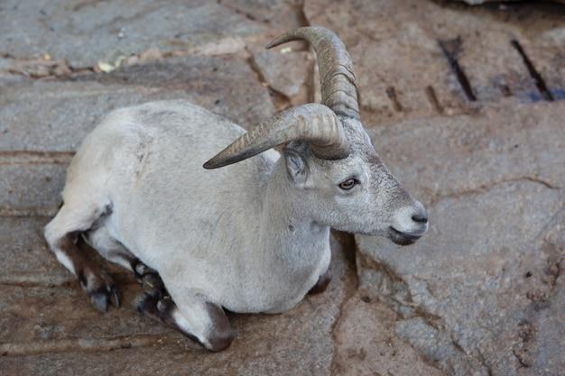 Una capra di montagna femmina giace su una roccia e guarda in lontananza