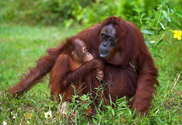 Femmina dell'orango con un bambino a terra. indonesia. l'isola di kalimantan (borneo).