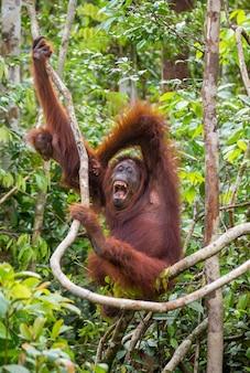 Femmina dell'orangutan con un bambino in un albero. indonesia. l'isola di kalimantan (borneo). Foto Premium