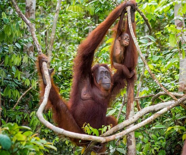 Femmina dell'orangutan con un bambino in un albero. indonesia. l'isola di kalimantan (borneo).