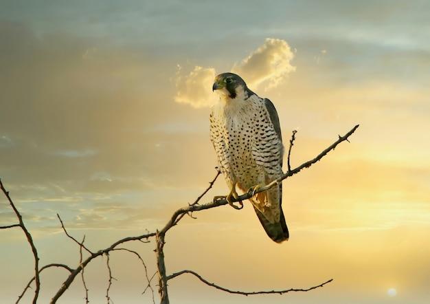 Una femmina di falco pellegrino (falco peregrinus) si siede su un ramo di un albero