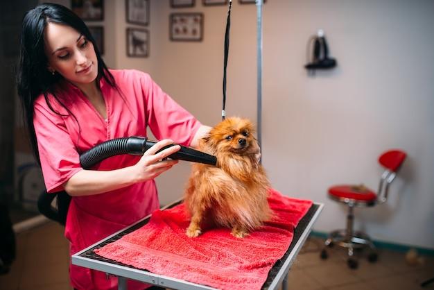 Pelo di cane asciutto del toelettatore dell'animale domestico femminile con un asciugacapelli, cucciolo che lava nel salone di toelettatura. sposo professionale e acconciatura per animali domestici