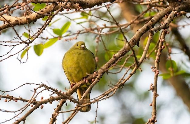 Piccione verde dal collo rosa femminile che si appollaia sul ramo, tailandia