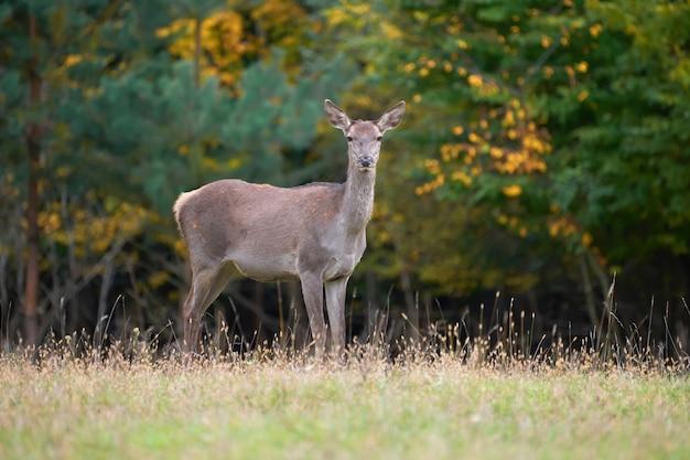 Femmina di cervo rosso nell'ambiente naturale