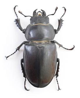 Femmina marrone rossiccio stag beetle (lucanus capreolus) isolato su bianco