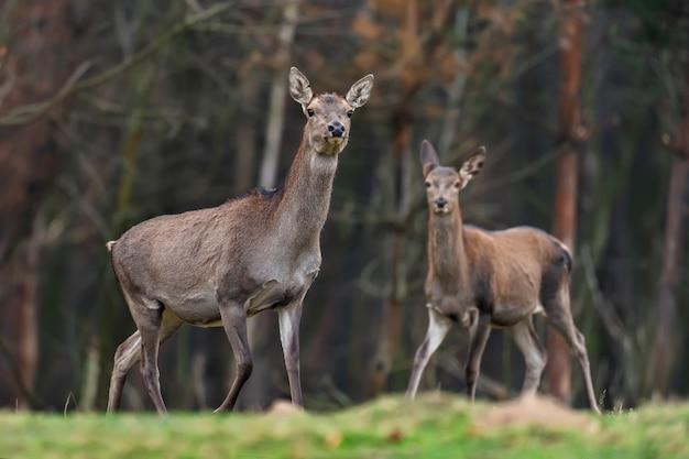Capriolo femmina in piedi nella foresta di autunno