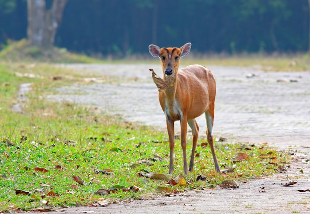La femmina di cervo sambar rusa unicolor