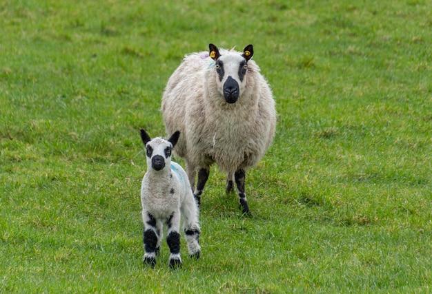 Pecora femmina con agnello neonato nel prato verde lussureggiante in primavera.