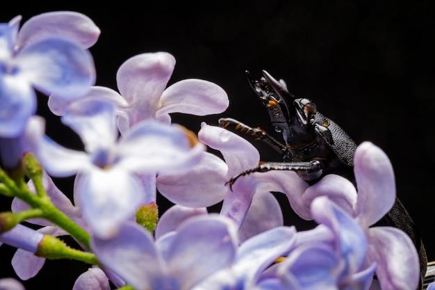 Femmina di cervo volante su un fiore all'inizio della primavera.