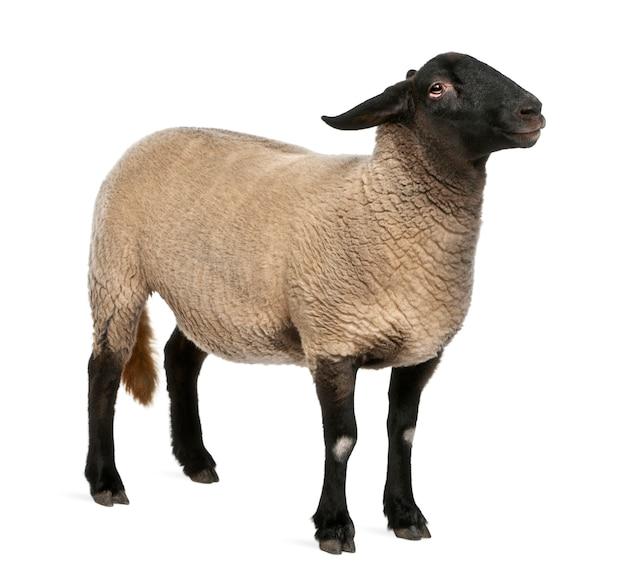 Suffolk femminile, pecora - ariete di ovis, isolato su bianco