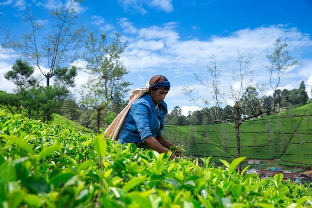 Raccoglitrice di tè femminile nella piantagione di tè a mackwoods