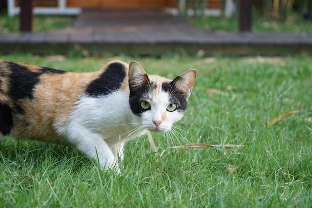 La femmina di tre colori (arancione, bianco, nero) sulla sua lana è fissa e sta in piedi sull'erba.