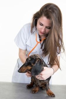 Il veterinario femminile esamina un bassotto tedesco isolato