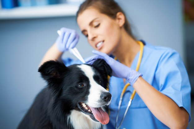 Veterinario femminile che rimuove la zecca ed esamina un cane in clinica