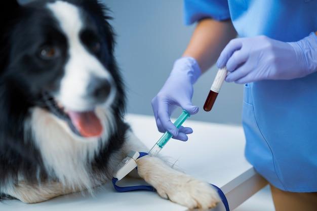 Veterinario femminile che preleva un campione di sangue ed esamina un cane in clinica