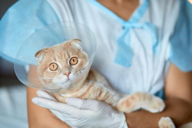 Il medico veterinario femminile sta tenendo sulle sue mani un gatto con il collare del cono di plastica dopo la castrazione, concetto veterinario.