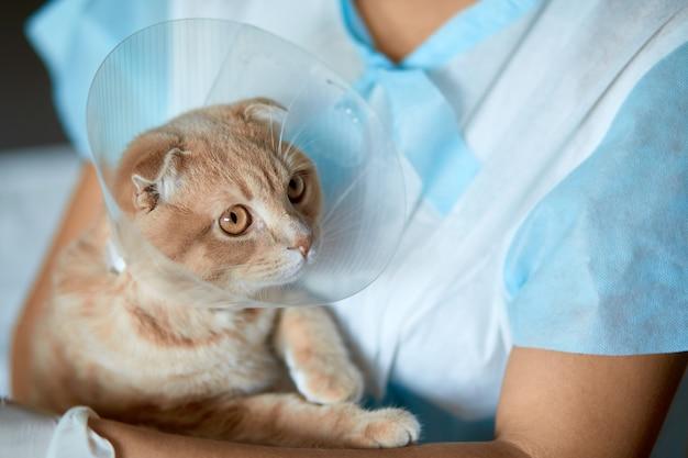 Il medico veterinario femminile sta tenendo sulle sue mani un gatto con il collare di plastica del cono dopo la castrazione, concetto veterinario.