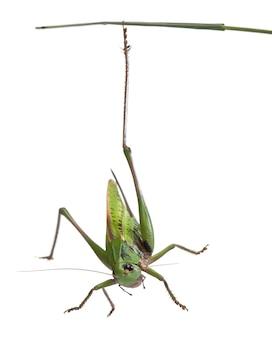 La verruca femmina (decticus verrucivorus) è un cespuglio-cricket