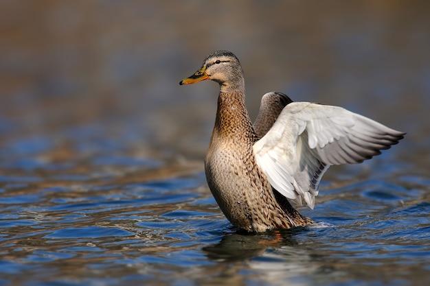 Anatra selvatica femmina (anas platyrhynchos). il germano reale spiega le ali.