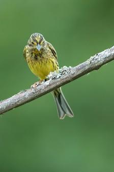 Zigolo giallo femmina nelle ultime luci della sera in un bosco di querce