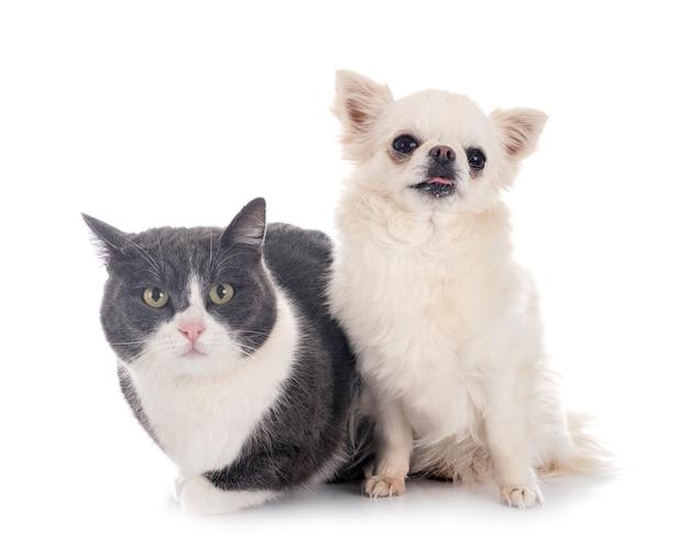 Gatto selvatico e chihuahua isolati su bianco