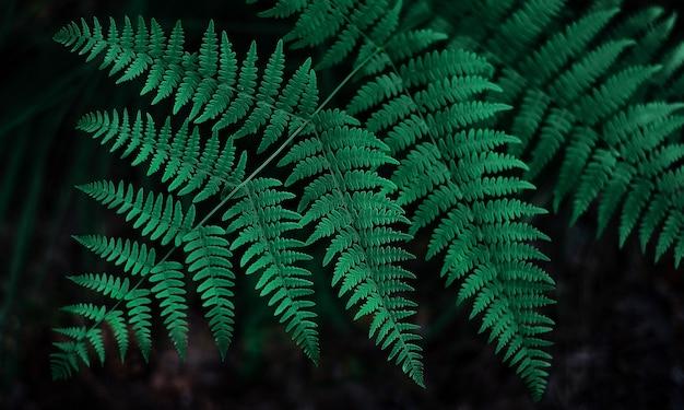 Foglie di felce sfondo verde scuro con profondità di campo ridotta