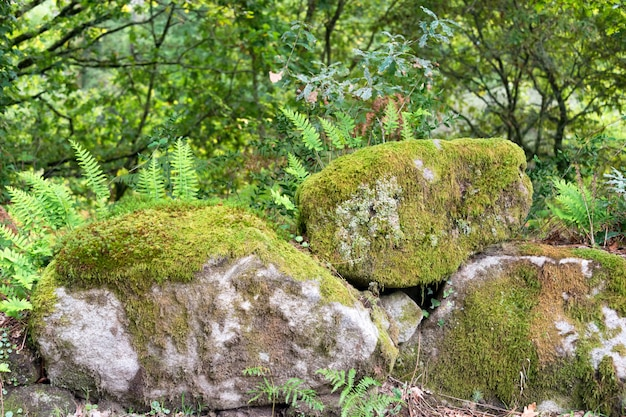 Felci che crescono sulle rocce nella foresta.