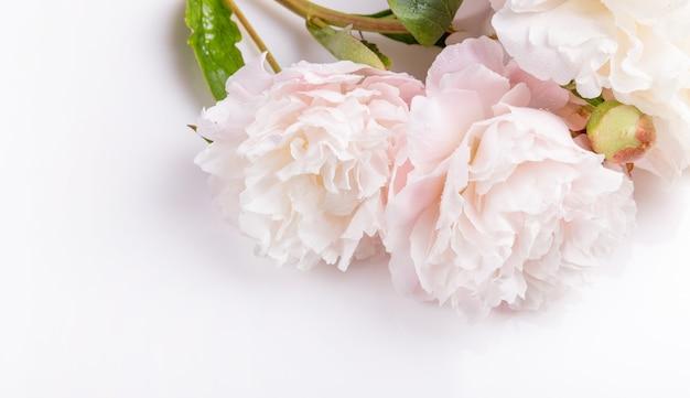 Composizione festiva nella peonia rosa del fiore su fondo bianco. vista dall'alto, piatta. copia spazio.