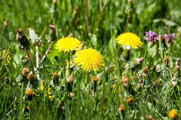 Pochi denti di leone gialli aperti e fiori di tarassaco chiusi, così come fiori di tarassaco che presto diventeranno bianchi.