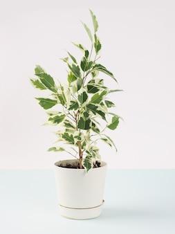 Ficus benjamin banner su uno sfondo luminoso, copia spazio per il testo.