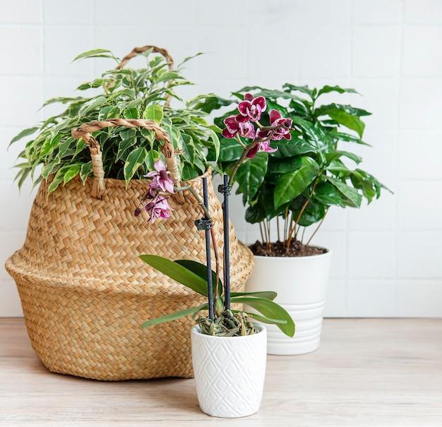 Ficus benjamin in un cesto di paglia, fiori di orchidea, piante da appartamento sul tavolo