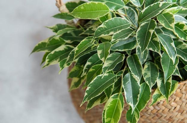 Ficus benjamin in un cesto di paglia sul tavolo