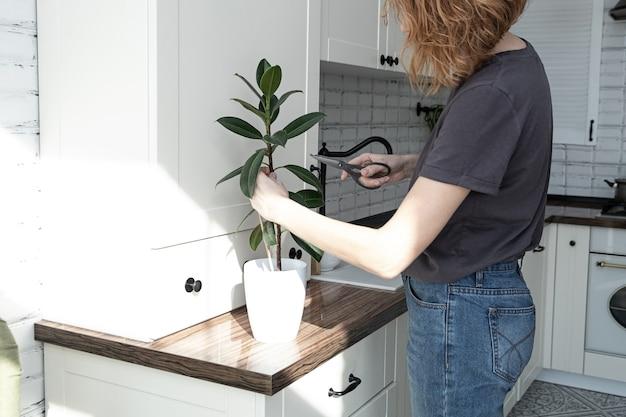 Talee di ficus. allevamento di piante in vaso. ficus elastico.
