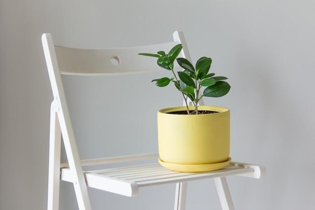 Il fiore di ficus in un vaso di fiori giallo si erge su una sedia bianca su uno sfondo grigio copia interna in stile scandinavo dello spazio