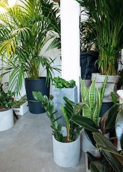 Ficus lyrata collezione di piante di ficus in vasobella pianta di fico a foglia di violino con grandi foglie verdi ...