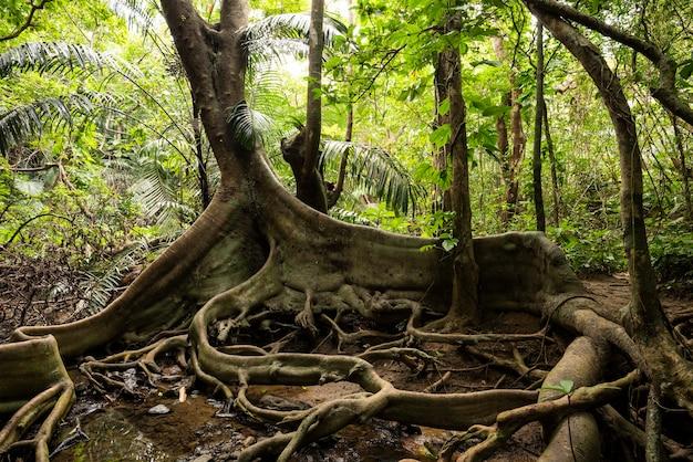 Ficus variegata blume con le sue radici che sembrano zampe di drago e dietro con la sua rigogliosa vegetazione naturale