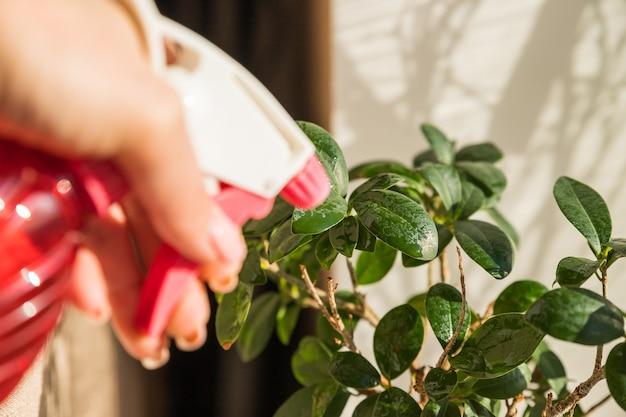 Ficus innaffiato da uno spray. cura della pianta d'appartamento. mani femminili che spruzzano pianta in vaso con lo spruzzatore dell'acqua. albero dei bonsai del ginseng di ficus nell'interno soleggiato. giardinaggio domestico.