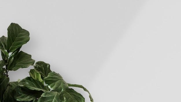 Fico foglia di violino in uno sfondo di muro bianco