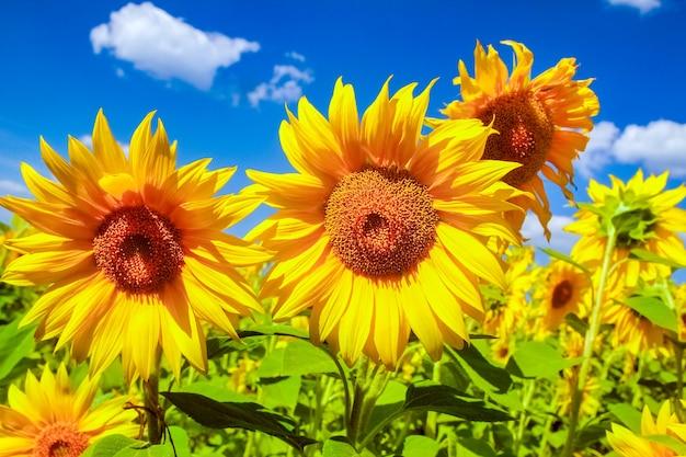 Un campo di girasoli in fiore contro un cielo colorato